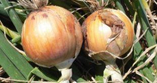 Acabou o choro: Cidade baiana produz nova cebola que não faz chorar