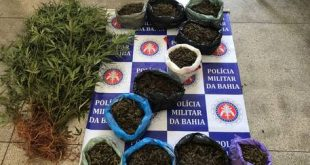 PM localiza roça com mais de mil pés de maconha em município baiano