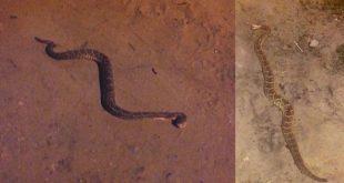 Itambé: Moradores da Trav. Padre Polito convivem com o perigo de cobras cascáveis pela rua