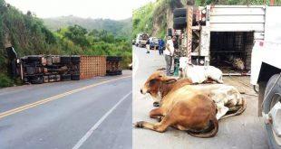 Caminhão carregado com bois tomba no sul da Bahia