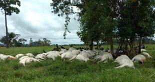 Raio mata 103 bois da raça Nelore e deixa fazendeiro com prejuízo de R$ 130 mil